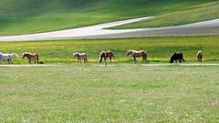 Cavalli al Piano Grande di Castelluccio (giorgiorodano46) Tags: maggio2014 may 2014 giorgiorodano italy castelluccio castellucciodinorcia cavalli horses umbria montisibillini parconazionaledeimontisibillini