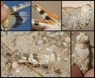 Strenuous Grasshopper (Trimerotropis californica) - Male