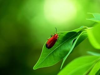 Net-winged Beetle.