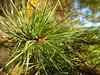 Pine in Vårgård, Saltsjöbaden (Madde Elg) Tags: vårgård saltsjöbaden stockholmsskärgård stockholmarchipelago pine tall macro