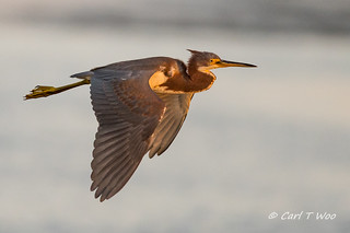Tri-colored Heron Flying Over Bolsa Chica