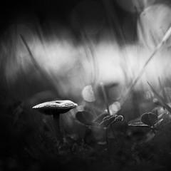 À l'heure du coucher. (steph20_2) Tags: panasonic gh3 lumix 45mm m43 macro proxy closeup champignon mushroom automne nature autumn noir noiretblanc ngc monochrome monochrom blanc black bw white skanchelli