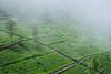 Lipton's Seat (valdesmarta) Tags: srilanka teaplantation plantation tea landscape lipton fog