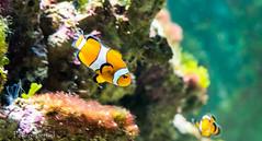 encontrando a Nemo (pedrojateruel) Tags: museodelagua pez murcia
