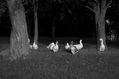 (Alexander Oleynik) Tags: geese meadow trees гуси луг gänse bw grass park autumn ukraine tree blackandwhite darkground animal