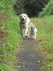 Best pals 🐾🐾 (staceygallagher2) Tags: ireland labrador jackrussell cute photography countryside dog puppy bestfriends dogs
