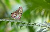 Amazonica Blijdorp Rotterdam (Wim Boon (wimzilver)) Tags: vlinder vlindertuin vlindermacro canoneos5dmarkiii canon100mmf28lismacro macro macrofotografie rotterdam flickrmeeting