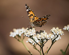 Another Painted Lady (droy0521) Tags: flower seasons roxboroughstatepark flowersplants wildlife paintedlady butterfly macro migration colorado outdoors events insect fall places animal littleton unitedstates us