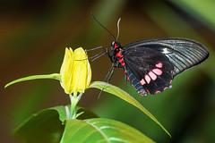 small postman butterfly (Uncle Tee TX) Tags: flash rogue flashbender sony a7ii fe70300g kamerar godox