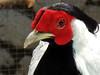 Silver pheasant (markb120) Tags: bird fowl flyer flier animal fauna eye optic orb comb crest beak bill pecker rostrum neb nib plumage feathering feather coverts coat dress