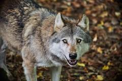 quand les regards se croisent (rondoudou87) Tags: pentax k1 parc zoo reynou wolf loup nature natur wildlife wild smcpda300mmf40edifsdm sauvage regard look eyes yeux bokeh