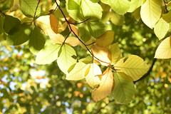 Grüngürtel 1 (simon.stoelben) Tags: autumn leaves old sunny warm oktober october nature natur sunlight green yellow woods forest grüngürtel köln cologne trees bäume buche fagus fagussylvatica beech europeanbeech