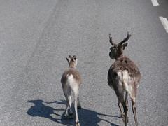 SKANDYNAWIA 2013 741 (katarzynaŚ) Tags: norway road reindeer animal skandynawia2013