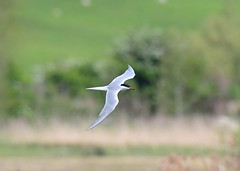 Common Tern (gillybooze (David)) Tags: ©allrightsreserved bird tern birdwatcher inflight bokeh outdoor wild dof grass trees reeds