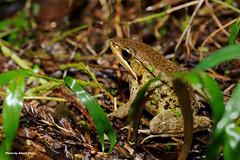 DSC_6381 (Albert-Chen) Tags: 新店 烏來 四崁水 翡翠水庫 樹蛙 赤蛙 青蛙 微距攝影 frog d700 nikon 生態
