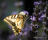 Swallowtail Butterfly (Outdoorjive) Tags: photo desktop flikr stevepalmerphoto dropbox lounge hotel events places walking other insect europe holiday italy siena toscana it