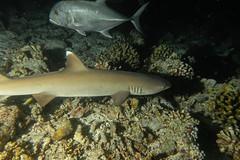 White Tip Reef Shark and Giant Jack. (Triaenodon Obesus and Caranx Ignobilis). (omar.flumignan) Tags: nightdive immersionenotturna arinord nothari atoll atollo maldive maldives vacanza holiday mysachika canon g7xmk2 fantasea fg7xmk2 ikelite ds51 squalo pinnabianca carangide whitetipreefshark giantjack triaenodonobesus caranxignobilis allnaturesparadise ngc flickrtravelaward