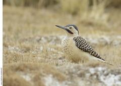 Colaptes rupicola (Cristian_Domínguez) Tags: flicker ave bird birding carpintero puna