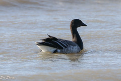Brant (Sue D Sharpe) Tags: brant goose arcticbird juvenile swimming water lakeontario migrating presquileprovincialpark
