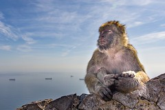 Zen. (christopher.czlapka) Tags: peace zen animal barbaryape ape holiday gibraltar
