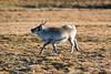 Svalbard Reindeer at Festningen S24A2664 (grebberg) Tags: geological fieldwork festningen spitsbergen svalbard september 2017 svalbardreindeer rangifertarandusplatyrhynchus rangifer rangifertarandus reindeer
