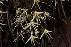 Dockrillia teretifolia (andreas lambrianides) Tags: dockrilliateretifolia orchidaceae thinpencilorchid ratstailorchid bridalveilorchid dendrobiumteretifolium australianflora australiannativeplants australianrainforests australianrainforestplants australianrainforestorchids australiannativeorchids arfp nswrfp qrfp arfflowers australianrainforestflowers epiphyte lithophyte whitearfflowers