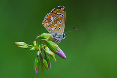 Aricia cramera (4) (JoseDelgar) Tags: insecto mariposa ariciacramera 425863898732785 josedelgar naturethroughthelens coth coth5 ngc sunrays5 alittlebeauty fantasticnature npc thegalaxy