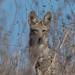 Wildcat Canyon Coyote-4836