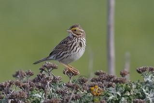 Savannah Sparrow (Passerculus sandwichensis) (sp. # 215)