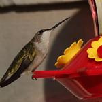 Ruby-Throated Hummingbird - NC thumbnail