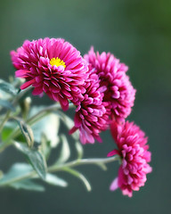 Autumn Mums (Through Serena's Lens) Tags: mumsflower flowers daisy mums nature bokeh outdoor closeup autumn fall dof canoneos6dmarkii purple 7dwf