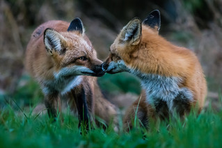 Evening foxes (3/3)