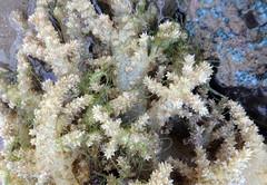 Spiky flowery soft coral (Stereonephthya sp.) (wildsingapore) Tags: sentosa serapong nephtheidae stereonephthya alcyonacea cnidaria island singapore marine coastal intertidal shore seashore marinelife nature wildlife underwater wildsingapore