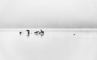 Birds on a foggy lake