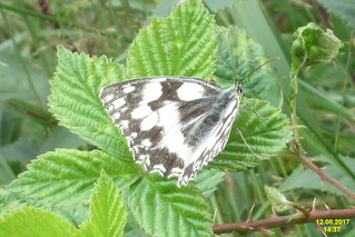 Marbled white (Štěp)
