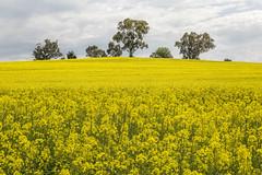 Canola Hill 2017-09-23 (5D_32A3563&66) (ajhaysom) Tags: canola dookie benalla famousflickrfive australia canoneos5dmkiii canon24105l