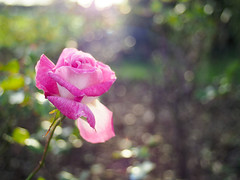 Autumn Rose (Howie Mudge LRPS BPE1*) Tags: flower petals stem bright sunny evening autumn autumnal pink white outside outdoors nature bokeh bokehlicious bokeful primelens olympus olympuspenf canonfd28mmf28 pixcofocalreducer backlight bushes trees plants earth grass bokehballs