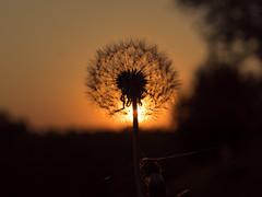 Douce lumière du soir (moietlaphoto) Tags: coucher soleil sunrise lumiere light douceur softness contrejour backlight soir fleur flower ombre shadow automne autumn dusk sunshine