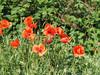 Majowe fotki - Mai 2017 Austria (arjuna_zbycho) Tags: mak maki makpolny czerwonemaki kwiatypolne mohn mohnblumen coquelicots pavots popyflower popy klatschmohn papaverrhoeas mohnblume klatschrose cornpoppy cornrose fieldpoppy flanderspoppy redpoppy redweed közönségespipacs vetésipipacs papaverocomune rosolaccio gatunekleczniczy heilpflanze hausmittel kwiat blume flower fleur popies fleurs natur flora