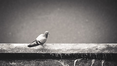..bird on fence.. (vjsankar) Tags: bird avian pigeon parava canon canon6d trivandrum aakkulam