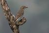 Blue-capped Rock Thrush - Female (steve happ) Tags: coorg india karnataka kodagu madikeri