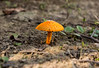 Mushroom (mshubhajyoti) Tags: shubhajyotimohapatra shubhajyotiphotography ngc fantasticwildlife wow iitkanpur nikonian nikond5200 naturewatcher mushroom colorfull