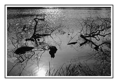 Etangs de Commelles (DavidB1977) Tags: france hautsdefrance picardie oise etangsdecommelles fujifilm x100f monochrome nb bw eau reflet