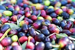 Recogiendo las aceitunas III (La Mary Anne) Tags: olivas aceitunas olives recogidadeaceitunas oliveharvest