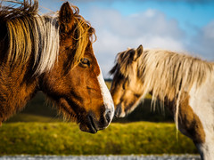Two horsepower (hp)... (davYd&s4rah) Tags: dof depthoffield tier animal horse pferd england greatbritain devon dartmoor southercoast southern coastline portrait lovely nature olympus epl7 m75mm f18 olympusm75mmf18 kissing kiss love bokeh