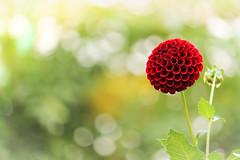 pompon (Tomo M) Tags: dahlia ball nature autumn bokeh petal bright 町田ダリア園