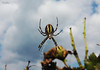 Walking in the sky (Nela Kovac) Tags: spider nature spiderweb nope yellow black scary