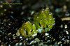 Greenie (kayak_no1) Tags: nikon d800e nauticamhousing 105mmvr diopter ysd1 subsee10 underwater underwaterphotography macro supermacro diving scubadiving uw lembehstrait indonesia shaunthesheep