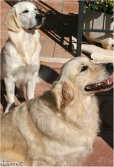 Alma y Bimba (Ubierno) Tags: perro chien dog madra الكلب 狗 σκύλοσ כלב 개 कुत्ता hond hund kutya köpek สุนัข cão собака ubierno alma golden retriever goldenretriever cachorro puppy bimba