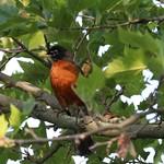 American Robin - Long Island, NY thumbnail
